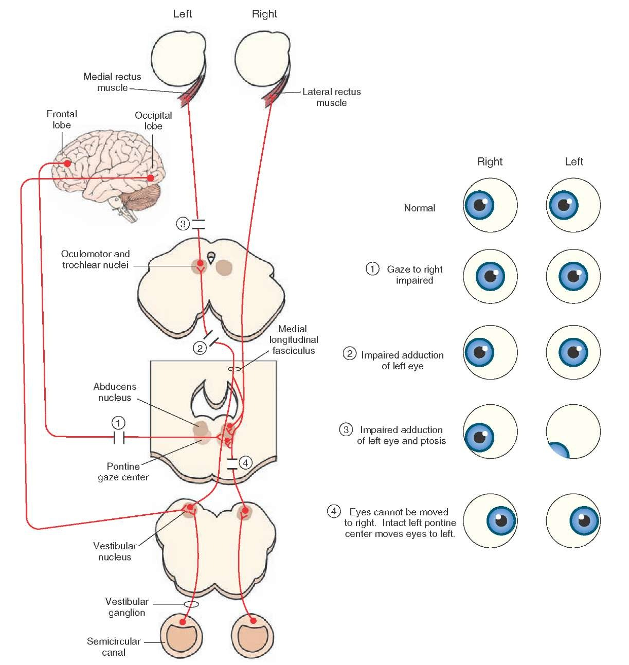 The Cranial Nerves Organization Of The Central Nervous System Part 5