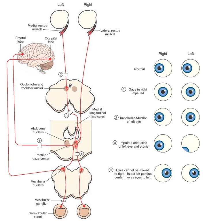 Cranial Nerves Diagram Cranial Nerve Pathways