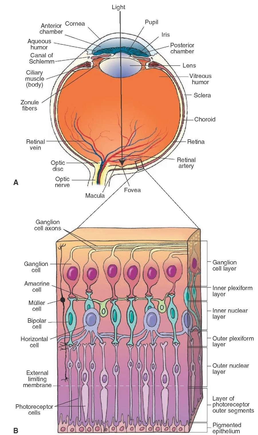 Visual System Sensory System Part 1