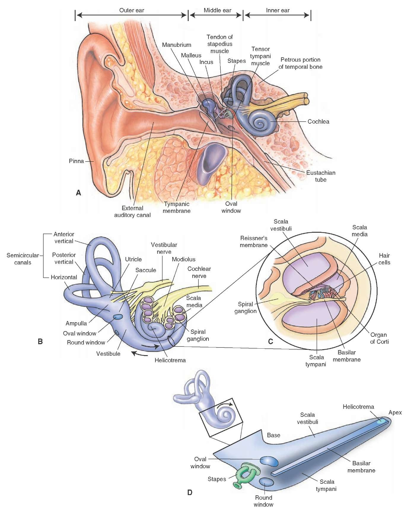 Components of the ear. (A) Note the location of the external, middle, and inner ear. The middle ear contains three small bones (the malleus, the incus, and the stapes). (B) The inner ear consists of a bony labyrinth that contains the vestibule, three semicircular (anterior, posterior, and lateral) canals, and the cochlea. (C) A cross section of cochlea reveals that the scala media is bounded by the vestibular (Reissner's) and basilar membranes, and the organ of Corti lies within the scala media (cochlear duct). (D) A diagram of an uncoiled cochlea.