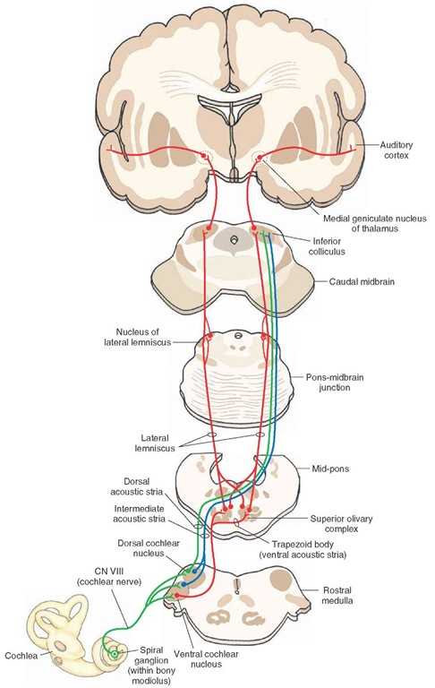 Central auditory pathways. See text for details. CN = cranial nerve.