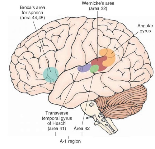 auditory and vestibular systems (sensory system) part 2, Human Body