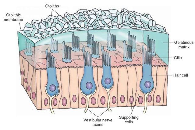 Otolithic Membrane; Otoconia; Otoliths; Statoconia