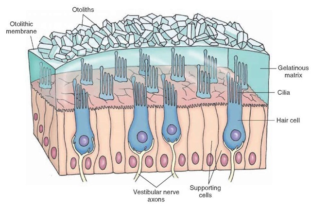 Otolithic membrane. Note that the cilia from the hair cells are embedded in a gelatinous matrix of the otolithic membrane containing otoliths that are composed of calcium carbonate crystals.
