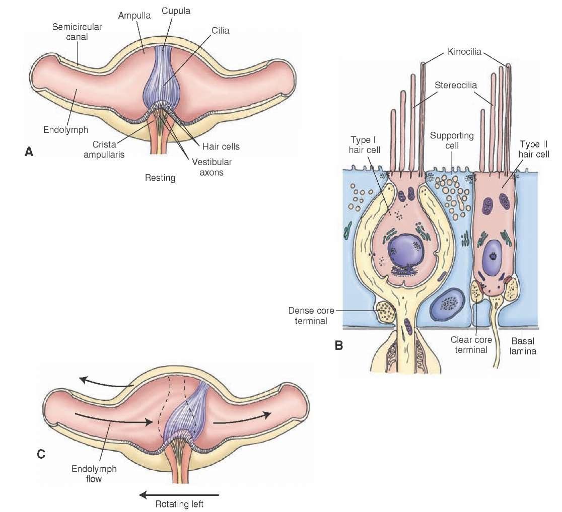 Auditory and Vestibular Systems (sensory System) Part 2