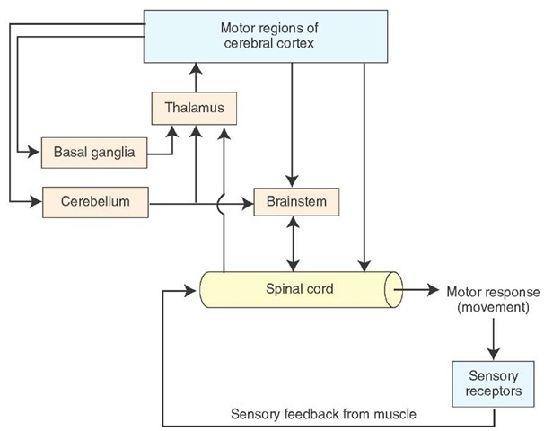 Organization of the motor systems. Spinal cord reflex mechanisms involve lower motor neurons and are subject to supraspinal control. The brain regions that have direct control over the spinal cord include the brainstem and cerebral cortex. Brainstem pathways that project to the spinal cord include the reticulospinal, vestibulospinal, rubrospinal, and tectospinal tracts. The cerebral cortex gives rise to both corticospinal and corticobulbar fibers. Corticospinal fibers are essential for voluntary control over fine movements, mainly of the distal extremities. Corticobulbar fibers contribute to the control of spinal cord indirectly, by acting on neurons of the brainstem that project to the spinal cord. Other corticobulbar fibers innervate lower motor neurons of the brainstem (cranial nerves) and provide the substrate and mechanism for voluntary movements of the head region. Two other regions, the basal ganglia and cerebellum, play important roles in motor functions. The basal ganglia affect motor systems by acting on neurons in the precentral and premotor regions that comprise the larger part of the corticospinal tract. The cerebellum affects motor function by acting on neurons in both the brainstem and the cerebral cortex that directly control motor functions of the spinal cord.