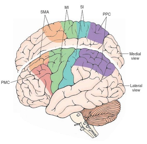 The regions of the cerebral cortex that give rise to the corticospinal tract. MI = primary motor cortex; PMC = premotor cortex; PPC = posterior parietal cortex; SI = primary somatosensory receiving area; SMA = supplementary motor area. Note that the PPC does not contribute to the corticospinal tract but does modulate its activity.