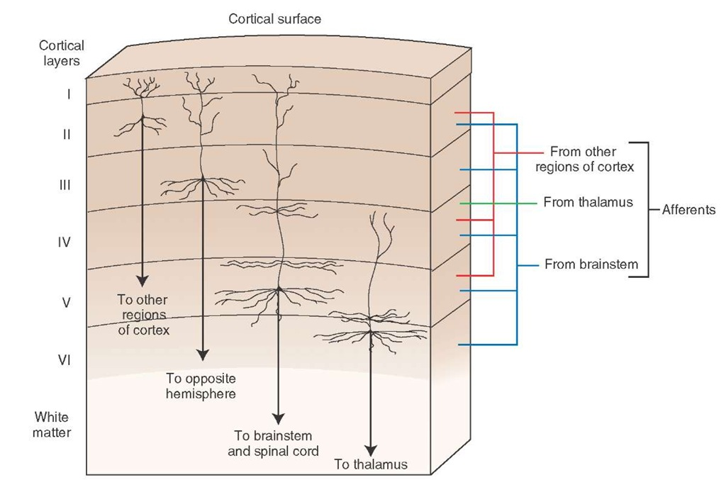 Histological appearance of the motor cortex displaying the specific layers which give rise to the varied efferent projections of this region of cortex. Afferent fibers to these layers are also shown.