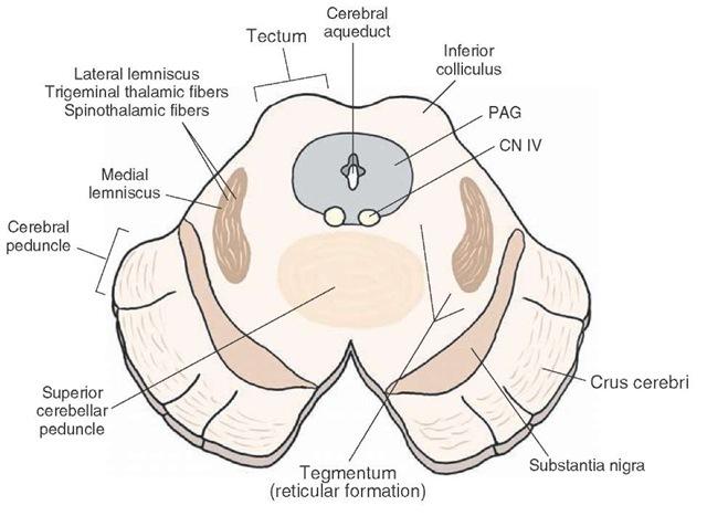 Brainstem III: The Midbrain (Organization of the Central ...
