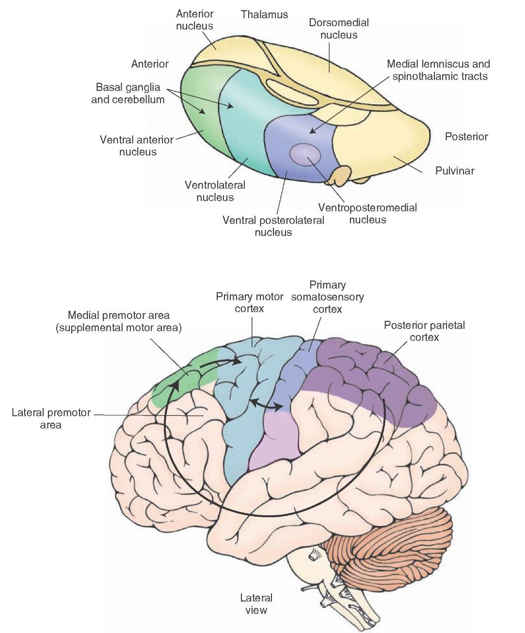 The upper motor neurons motor systems part 2 principal afferent projections to the motor cortex note that the cerebellum and basal ganglia gain ccuart Gallery
