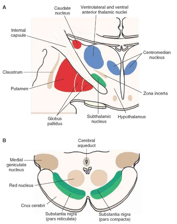 The anatomical structures that comprise the basal ganglia. (A) The principal components of the basal ganglia situated within the forebrain: the caudate nucleus, putamen, globus pallidus, and the subthalamic nucleus, which is linked to the basal ganglia by its connections with the primary structures comprising the basal ganglia. (B) The position of the substantia nigra within the midbrain, which is also linked to the basal ganglia because of its connections with the neos-triatum.