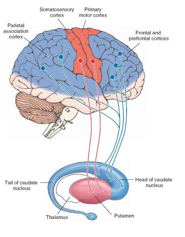 Relationship of the cerebral cortex to the putamen and caudate nucleus. The diagram illustrates that the putamen receives fibers from motor regions of the cerebral cortex, whereas the caudate nucleus receives inputs from association regions (temporal and parietal lobes) as well as inputs from other regions of the frontal lobe, including the prefrontal cortex.