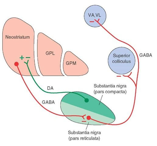 Key relationships of the substantia nigra. The pars reticulata of the substantia nigra receives an inhibitory (red line) gamma aminobutyric acid (GABA)-ergic input from the neostriatum. In turn, there are two important outputs of the substantia nigra. The first is a dopaminergic (DA) projection to the neostriatum (which is excitatory when acting through D, receptors and inhibitory when acting through D2 receptors). The second is an inhibitory GABAergic projection from the pars reticulata to the ventral anterior (VA) and ventrolateral (VL) thalamic nuclei as well as to the superior colliculus. GPL = lateral segment of the globus pallidus; GPM = medial segment of the globus pallidus; (+) = excitation; (-) = inhibition.