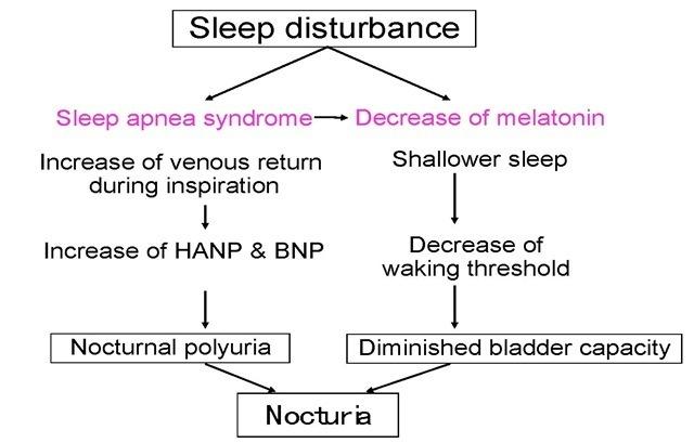 melatonin and nocturia part 2, Skeleton