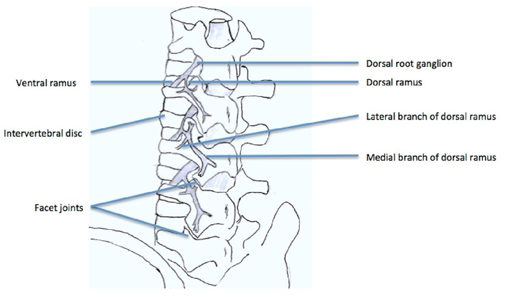the branches of lumbar roots