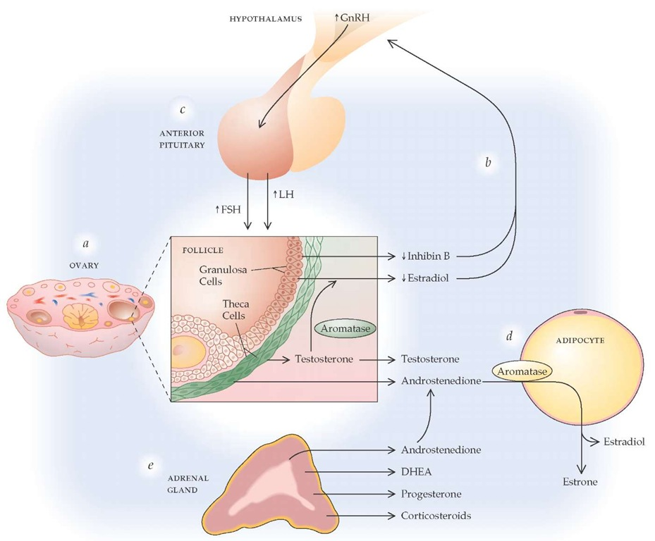 Multiple hormonal changes are associated with reproductive aging. (a) Within the ovary, secretion of inhibin B by granulosa cells decreases when a woman is in her mid-30s, and follicular depletion results in increasing rates of anovulation and diminished ovulatory surges of estradiol and estrone by her early 40s. Ovarian testosterone secretion continues; some ovarian testosterone is converted to estradiol by the enzyme aromatase, and the remainder is secreted as testosterone or the androgen precursor androstenedione. (b) In the menopausal transition, decreased circulating levels of inhibin and, subsequently, decreasing estradiol concentrations result in stimulation of the hypothalamus to increase secretion of GnRH. (c) Elevated circulating GnRH levels stimulate the anterior pituitary to increase secretion of FSH, followed by an increase in LH. Eventually, attempts by the brain to drive the ovary to produce estrogen fail, but production of androstenedione and testosterone by the ovarian theca cells continues in early menopause. (d) With diminished serum estrogen levels, adipocytes are stimulated to convert androstenedione to estrone via the enzyme aromatase. (e) Hormonal synthesis by the adrenal gland remains fairly constant, undergoing changes associated with aging, not menopause per se.