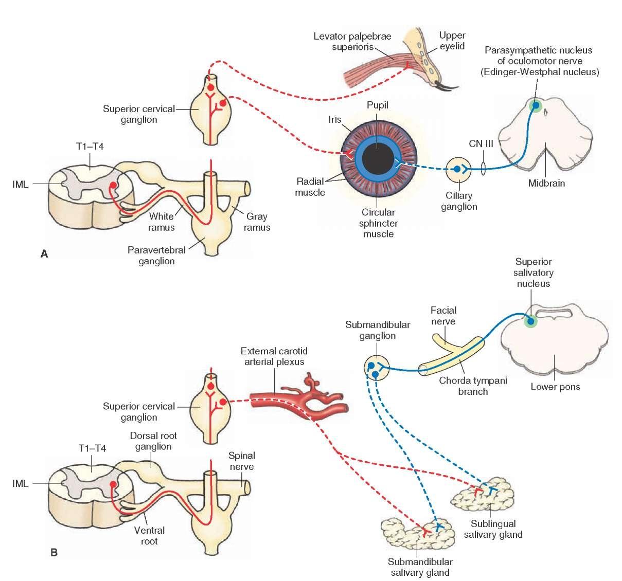The Autonomic Nervous System (Integrative Systems) Part 2