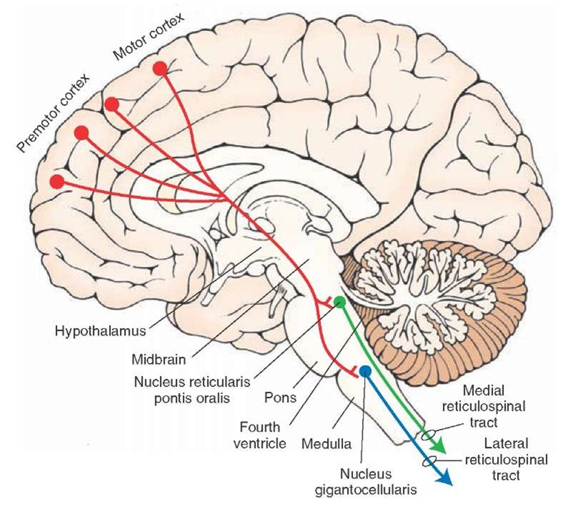 Corticoreticular projections. Sagittal view of the brain depicting the principal projections of fibers from the cerebral cortex to the reticular formation (shown in red). The largest majority of fibers arise from the motor and premotor cortices. The primary targets of these projections include the nucleus reticularis pontis oralis and nucleus reticularis gigantocellularis of the medulla, which give rise to the medial (green) and lateral (blue) reticulospinal tracts, respectively, and play important roles in regulating muscle tone.