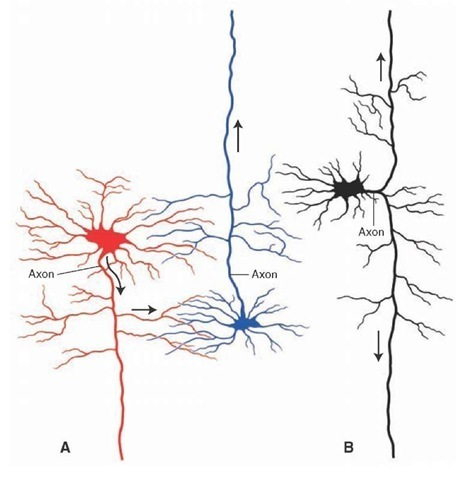 Different types of neurons in reticular formation can influence other regions along the neuraxis of the central nervous system. (A)The long descending neuron on the left (shown in red) gives off a collateral that makes synaptic contact with another neuron (shown in blue) that contains a long ascending axon. (B) Alternatively, a single neuron may bifurcate, giving rise to both long ascending and descending branches.