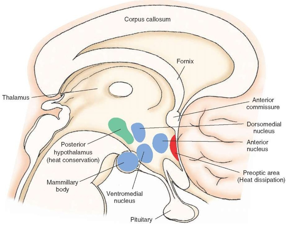The Hypothalamus (Integrative Systems) Part 3