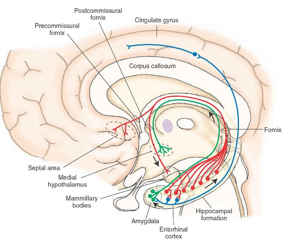 limbic system In order to understand the concept of limbic system, it is important to understand  the term rhinencephalon, whose origins are difficult to trace.