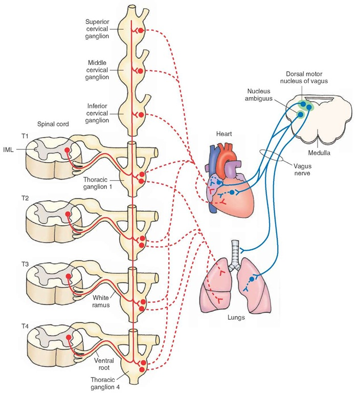how to tell the sympathetic trunk from vagus nerve