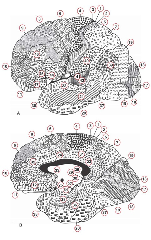 Brodmann's cytoarchitectonic mapping of the human brain. (A) Lateral view; (B) medial view. The different regions are labeled with corresponding symbols and numbers. Note the key regions that have been identified using Brodmann's numbering scheme. Several of these regions include: area 4: primary motor cortex; area 6: premotor area; areas 3, 1, and 2: primary somatosensory receiving areas; areas 5 and 7: posterior parietal cortex; area 17: primary visual cortex; and area 41: primary auditory receiving area. See text for further discussion of Brodmann's areas.
