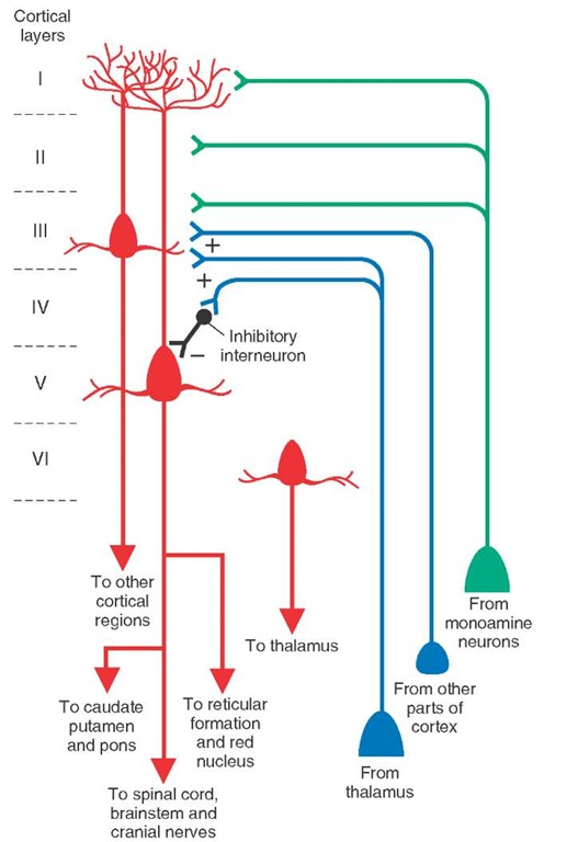 Input-output relationships of cortex. Schematic diagram depicts the intrinsic organization and input-output relationships of the cerebral cortex. Excitatory connections are indicated by (+), and inhibitory synapse is indicated by (-). Note that thalamocortical and intracortical projections terminate mainly in layer IV, and monoaminergic projections are distributed mainly to more superficial layers. Cortical afferents terminating in layer IV can either excite or inhibit pyramidal cells in layer V, which contribute significantly to the outputs of the cerebral cortex. The major outputs to the spinal cord, cranial nerve motor nuclei, other brainstem structures, thalamus, and neostriatum arise in layers V-VI, whereas projections to other regions of cortex either on the ipsilateral or contralateral side arise from layer III.