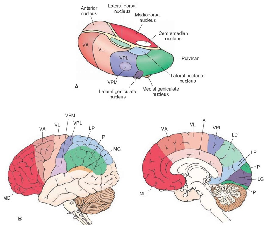 Thalamocortical relationships. (A) The relative positions of thalamic nuclei. (B) Lateral (left) and medial (right) views of the cerebral cortex that demonstrate the projection targets of thalamic nuclei. Color-coding is to facilitate visualization of the projection targets of thalamic nuclei on the cerebral cortex. VPM = ventral posteromedial nucleus; VPL = ventral posterolateral nucleus; VA = ventral anterior nucleus; VL = ventrolateral nucleus.