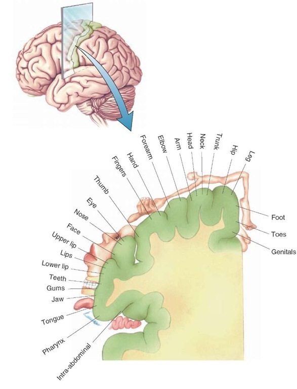 Cortical homunculus: somatotopic organization of the body surface as represented on the postcentral gyrus of the cerebral cortex. Neurons situated along the medial-to-lateral surface of the postcentral gyrus are responsive to stimulation of a specific aspect of the body region as indicated in this illustration.