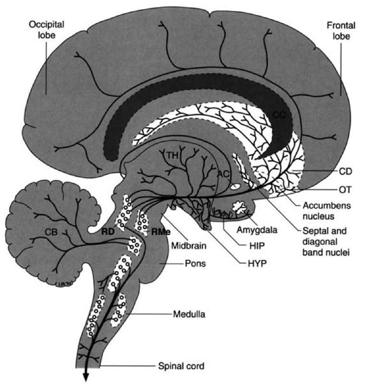 Serotonergic projections. Diagram illustrates the projection pathways of the serotonergic fiber systems from the raphe complex of the pons and midbrain to the cerebral cortex. Other serotonergic projections to the cerebellum, diencephalon, and spinal cord are presented for purposes of completion. AC = anterior commissure; CB = cerebellum; CC = corpus callo-sum; CD = caudate nucleus; HIP = hippocampal formation; HYP = hypothalamus; OT=olfactory tubercle; RD = dorsal raphe nucleus; RMe = median raphe nucleus.