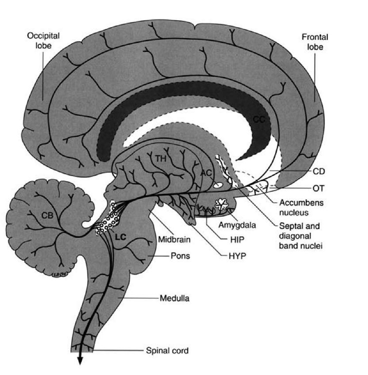 Noradrenergic projections. Diagram illustrates the projection pathways from the locus ceruleus (LC) to the hypothala-mus (HYP), thalamus (TH), limbic regions including the amygdala and hippocampus (HIP), and the wide regions of the cerebral cortex. Other projections are presented for purposes of completion, including the spinal cord, medulla, and cerebellum (CB). AC = anterior commissure; CD = caudate nucleus; OT = olfactory tubercle.