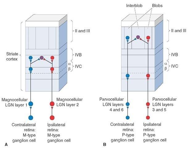 The Thalamus and Cerebral Cortex (Integrative Systems) Part 3