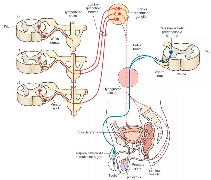 The autonomic nervous system integrative systems part 4 autonomic innervation of the male reproductive system see text for details red ccuart Image collections