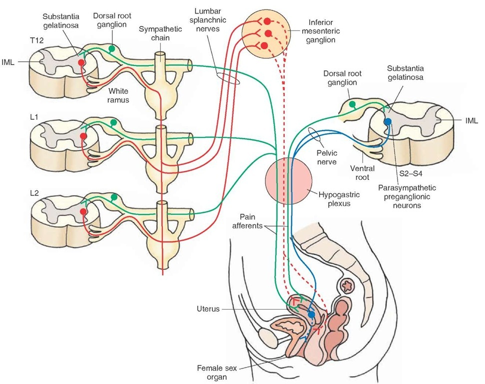 The autonomic nervous system integrative systems part 4 autonomic innervation of the female reproductive system see text for details red ccuart Choice Image