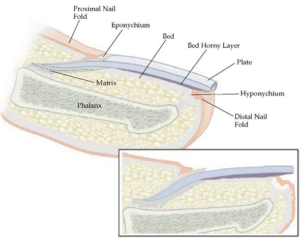 Longitudinal section of the fingernail. Major components of the nail include the nail matrix, nail plate, eponychium, hyponychium, nail bed, and the proximal and lateral nail folds.