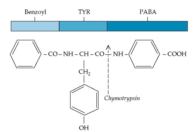 Cleavage of the bentiromide molecule by the intraduodenal enzyme chymotrypsin yields two fragments, benzoyl-tyrosine and aminobenzoic acid (PABA). Bentiromide is composed of benzoyl (light blue), tyrosine (TYR) (blue), and PABA (dark blue). The released PABA is absorbed across the intestine and excreted in significant quantities in the urine. Absence of chymotrypsin, as a result of pancreatic disease or duct obstruction, will result in failure of release, absorption, and urinary excretion of PABA.