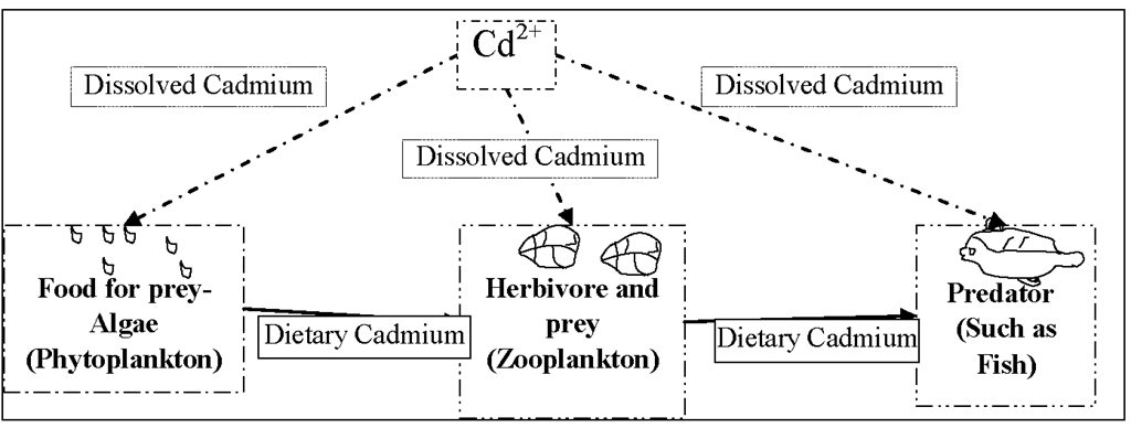 Diagrammatic representati ons of various aquatic organisms indicating cadmium sources at each trophic level exposed to dissolved and dietary cadmium.