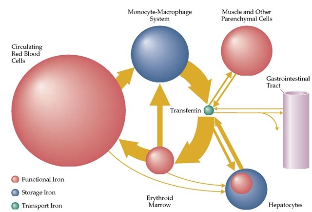 Red Blood Cell Function and Disorders of Iron Metabolism Part 1 on simple schematic diagram, ups battery diagram, circuit diagram, as is to be diagram, ic schematic diagram, layout diagram, a schematic circuit, template diagram, a schematic drawing,