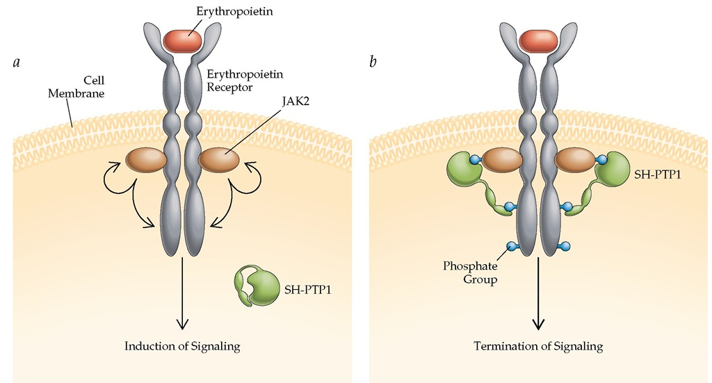 (a) Binding of erythropoietin to the erythropoietin receptor on an erythroid progenitor cell triggers association and activation of the protein-tyrosine Janus kinase-2 (JAK2) and the initiation of signal transduction, stimulating growth of the erythroid progenitor cell. (b) Binding of the protein-tyrosine phosphatase SH-PTP1 results in dephosphorylation of JAK2 and termination of signal transduction.