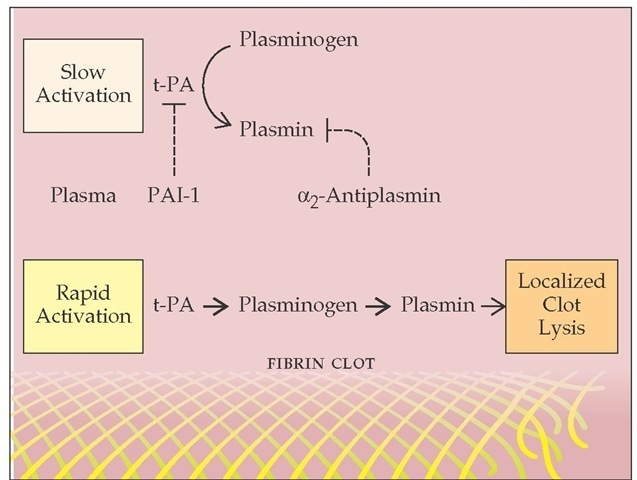 Tissue-type plasminogen activator (t-PA), released from perturbed endothelial cells near an injured blood vessel, converts plasminogen to plasmin. Free plasmin is rapidly inactivated by plasma a2-antiplasmin; plasmin bound to the fibrin clot is protected from inactivation.