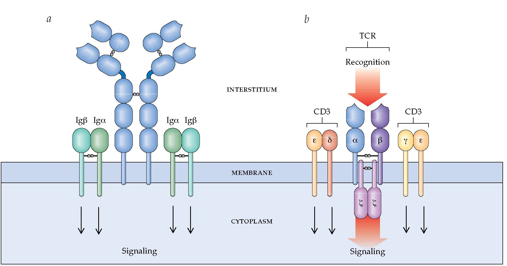 diagram of t cell receptor gallery