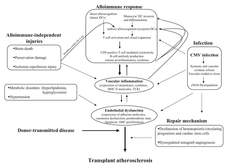 Pathobiology of Cardiac Allograft Vasculopathy.
