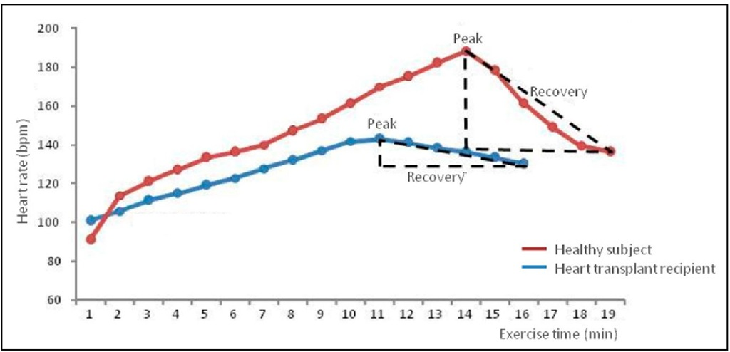 Heart rate(HR) representation in a sedentary healthy subject (in red) and in a sedentary heart transplantation recipient (in blue).