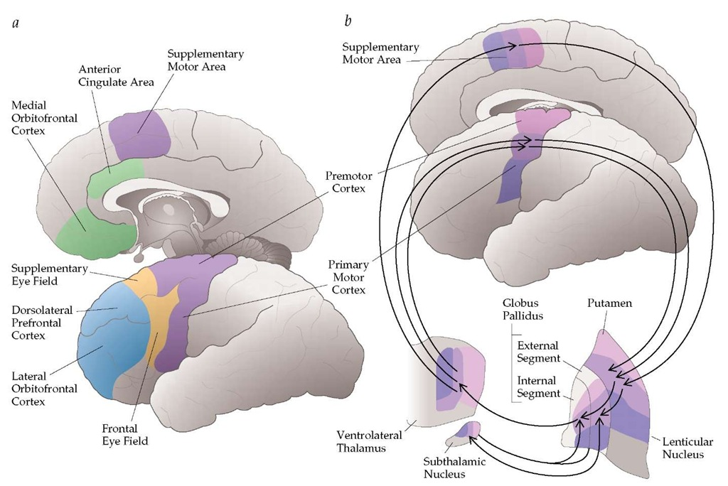 Functional anatomy of the basal ganglia. (a) The basal ganglia are appropriately viewed as components of larger cortical-subcortical reentrant pathways that also include portions of the thalamus. These form a family of functionally segregated circuits that subserve and ultimately target the skeletomotor, oculomotor, associative (cognitive), and limbic cortices of the frontal lobes. (b) The basal ganglia comprise the corpus striatum (caudate nucleus and putamen), the globus pallidus, the subthalamic nucleus, and the two parts (pars compacta and pars reticularis) of the substantia nigra. These components are found deep in the cerebral hemispheres and nearby parts of the diencephalon and midbrain. The figure illustrates a simplified schema of the motor circuit. The segregated organization of the cortical-subcortical circuits permits simultaneous and independent parallel processing of diverse motor and nonmotor inputs (e.g., representation of face, arm, and leg). For each circuit, output (i.e., cortical impulses) from a specific cortical area passes through a unique portion of the striatum (e.g., putamen), the external and internal segments of the globus pallidus, the substantia nigra pars reticularis (not shown in this figure), the subthalamic nucleus, and the ventrolateral thalamus and returns to the specific frontal cortical area—in this case, the area related to motor function (i.e., premotor cortex, primary motor cortex, and supplementary motor cortex). The motor circuit originates from the precentral and postcentral sensorimotor fields, engages specific portions of the basal ganglia and motor thalamus, and ends back in the precentral motor fields of the frontal lobe. For example, voluntary movements are normally initiated in cortical areas that provide input to the basal ganglia and thalamus, which in turn modify these same cortical areas via the return projection through the motor circuit.