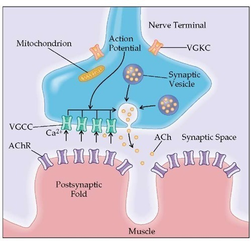 Transmission from the nerve ending at the neuromuscular junction takes place at localized sites (active zones). The presynaptic region contains the voltage-gated calcium channels (VGCCs) and synaptic vesicles that hold 6,000 to 8,000 molecules of the neurotransmitter acetylcholine (ACh). When the action potential reaches the nerve terminal, the VGCCs open and Ca2+ flows into the nerve terminal. The entry of Ca2+ triggers the fusion and exocytosis of the synaptic vesicles. ACh is released into the synaptic space and binds to the acetylcholine receptor (AChR) located in the end-plate region of the muscle membrane (postsynaptic folds). Activation of AChR by ACh causes ions to flow through AChR across the membrane, initiating the electrical response of the muscle called the end-plate potential (EPP). The EPP spreads from the end-plate region to the surrounding muscle membrane and initiates the impulse response of the muscle that ultimately leads to muscle contraction.