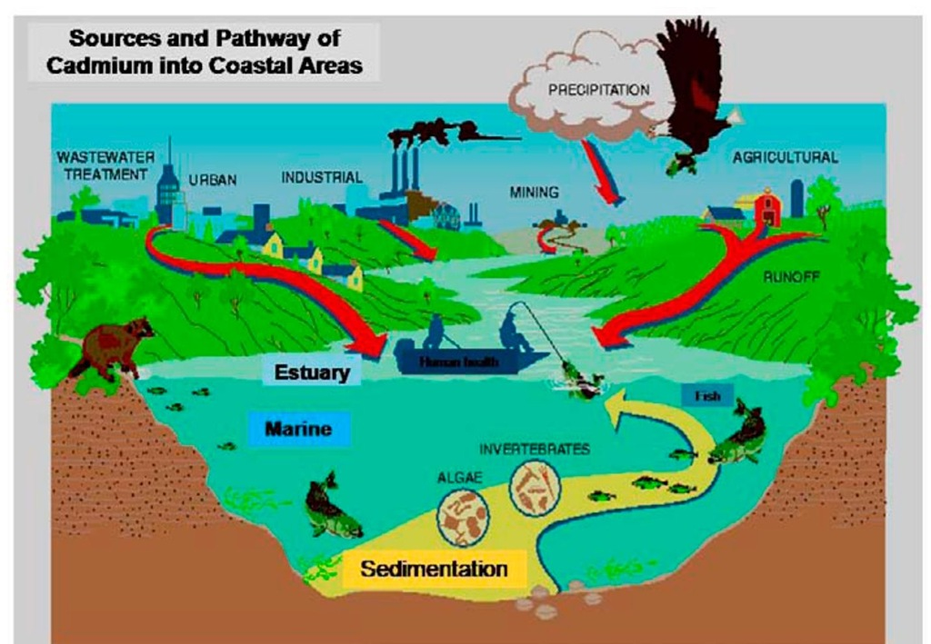 Different sources and pathway of cadmium into the aquatic environment.