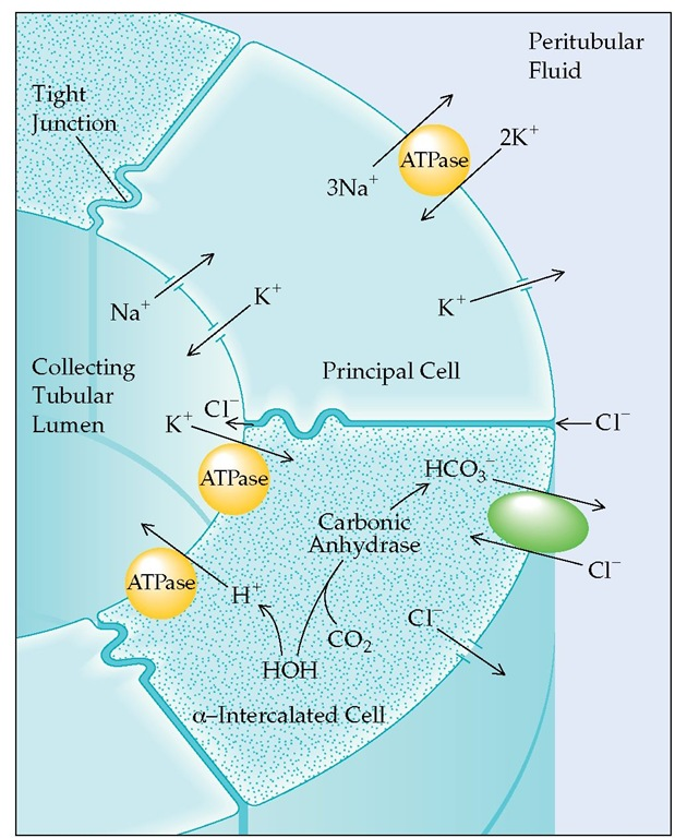 Secretion of H+ from the cortical collecting tubule is indirectly linked to Na+ reabsorption. Intracellular potassium is exchanged for sodium in the principal cells, whereas H+ is actively transported by an ATPase pump from the a-intercalated cells. Aldosterone stimulates H+ secretion by entering the principal cell, where it opens Na+ channels in the luminal membrane and increases Na+,K+-ATPase activity. The movement of cationic Na+ into the principal cells then creates a negative charge within the tubular lumen. K+ moves from the principal cells and H+ from the a-intercalated cells down this electrochemical gradient and into the lumen. (When K+ is depleted, principal cell K+ secretion is reduced, and K+ reabsorption via an ATPase pump in the a-intercalated cell is stimulated.) Aldosterone apparently also stimulates the H+-ATPase directly in the intercalated cell, further enhancing H+ secretion. HCO3 is returned to the blood across the peritubular membrane in exchange for Cl-, thus maintaining electroneutrality.