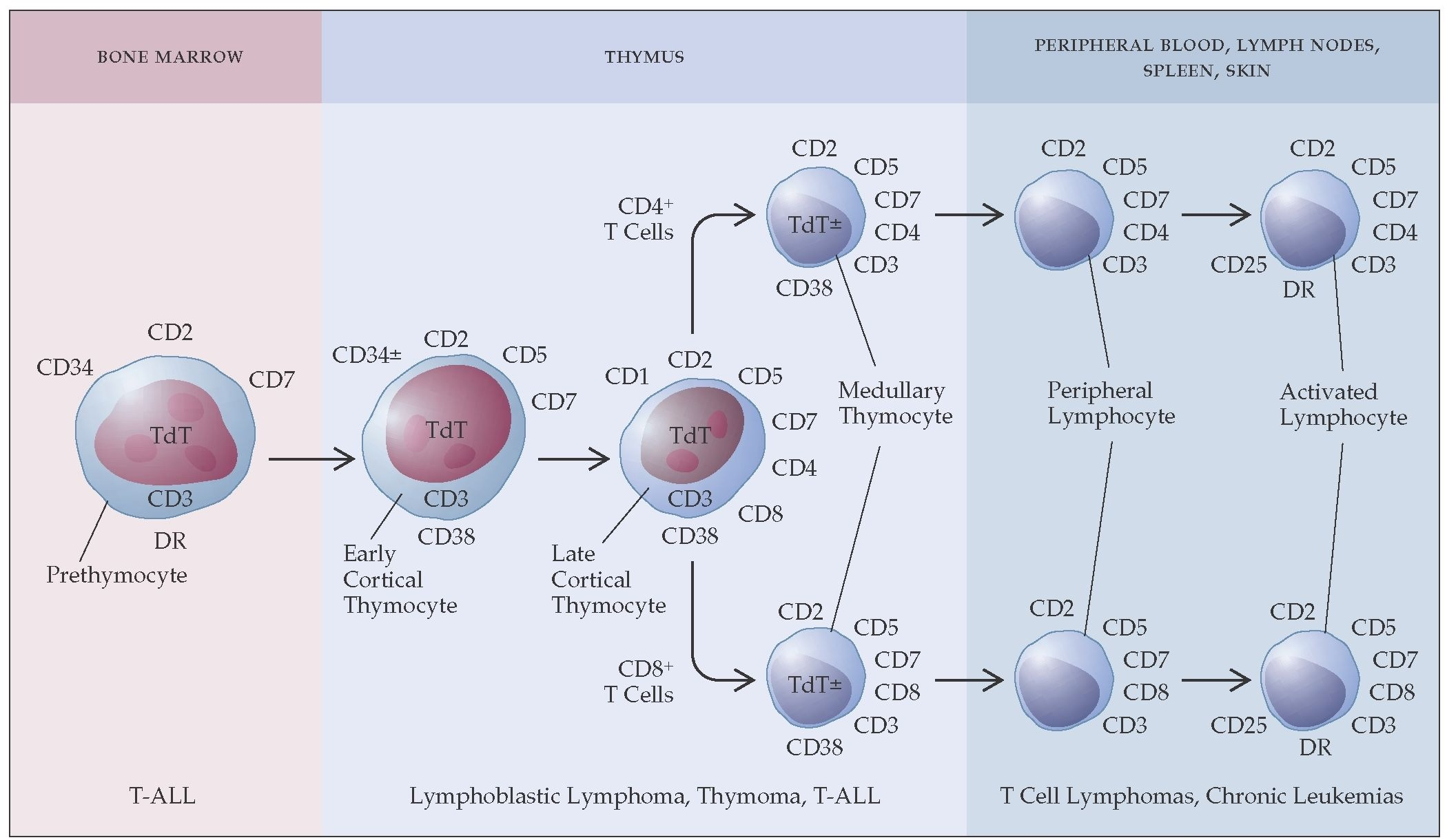 Maturation of t cells