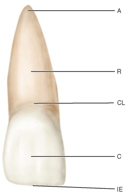 Maxillary central incisor (facial aspect).